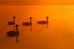 UNITY3:  Four Swans at Sunset